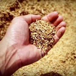 rijsthandel